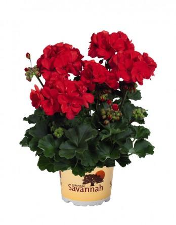 Пеларгония зональная Savannah Red