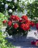 Пеларгония зональная Savannah Red1