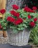Пеларгония межвидовая Cumbanita Dark Red1