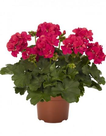 Пеларгония межвидовая Cumbanita Deep Rose