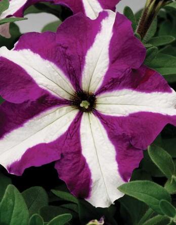 Петуния Bravo Purple Star