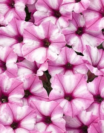 Петуния Pink Star