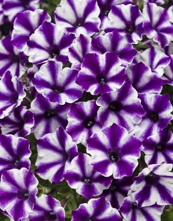Петуния Violet Star