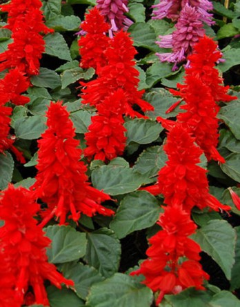 Сальвия блестящая Reddy Bright Red