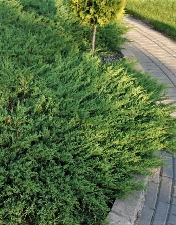 Juniperus Andorra Compacta