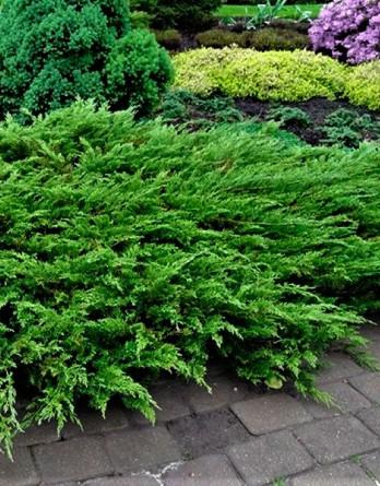 Juniperus sabina Arcadia