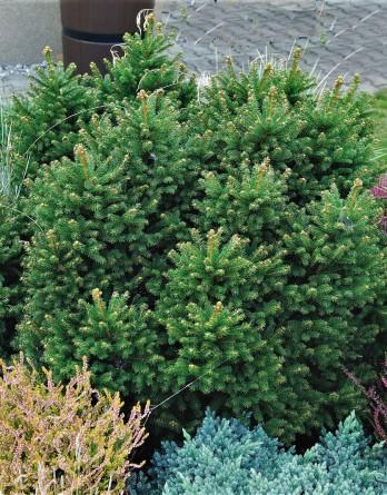 Picea abies Pygmaea