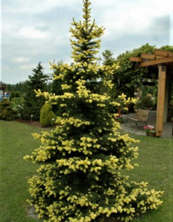 Picea pungens Maigold