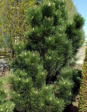 Pinus nigraGreen Rocket