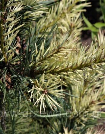 Pinus sylvestris Argentea