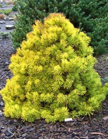 Pinus sylvestris Aurea Nisbet