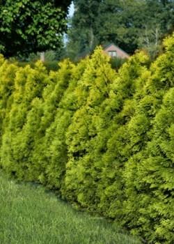 Thuja occidentalis Golden Brabant