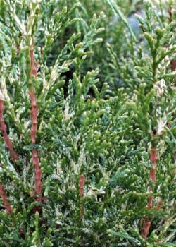 Thuja occidentalis White Smaragd