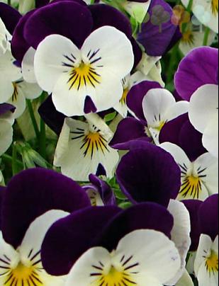Корнет Вайт Виолет